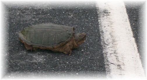 Donegal Road snapping turtle 6/5/11