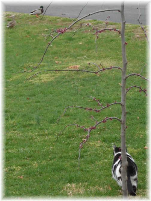 Ducks in front yard 4/15/13