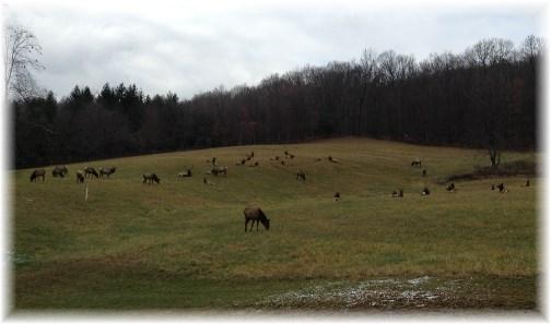 Elk on Tom Neizmik's farm