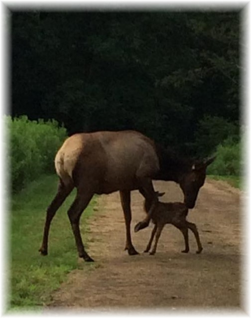 Elk with newborn calf (Photo by Marsha Neizmik)
