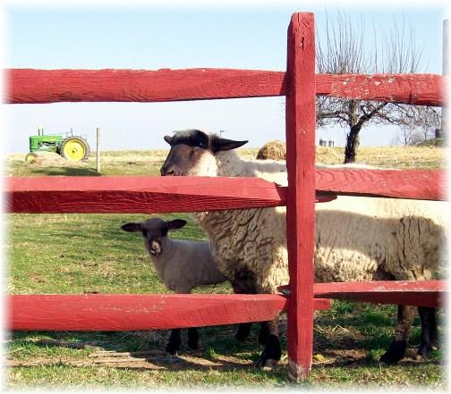 Ewe with lamb 3/13/12