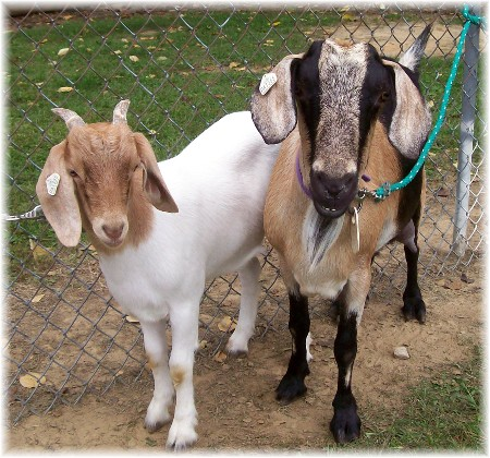 Falmouth goat race