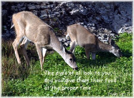 Deer in Marin County California