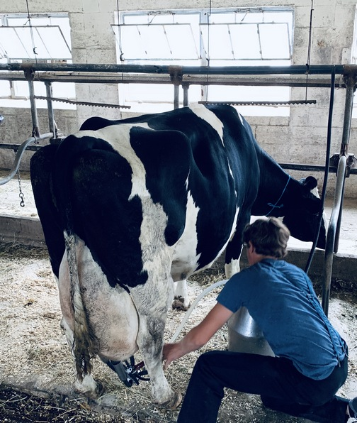 Fresh cow