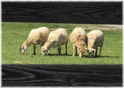 Gibble Road sheep, Lancaster County, PA 4/26/18