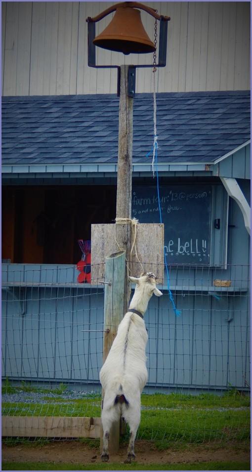 Goat ringing Old Windmiil Farm bell (Ester)