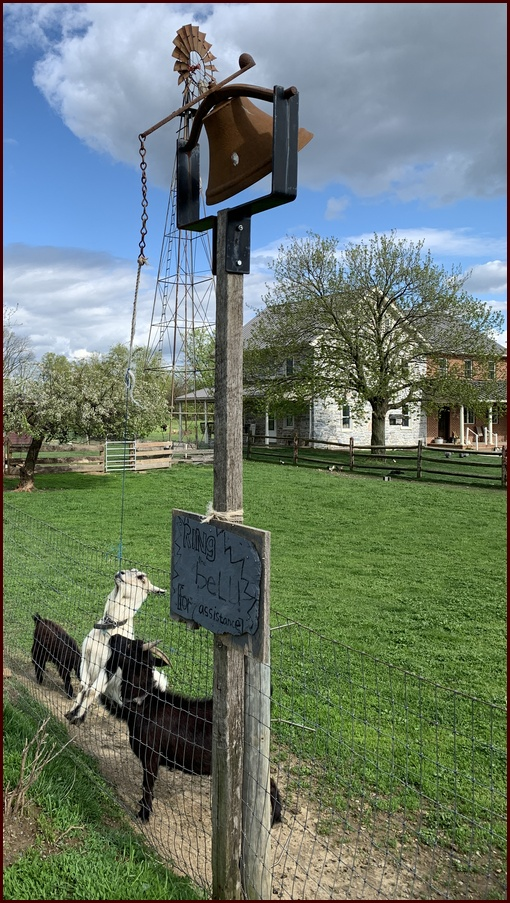 Goat ringing bell on the Old Windmill Farm