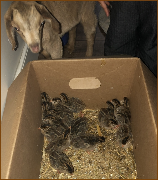 Goat and box of chicks 4/2/19