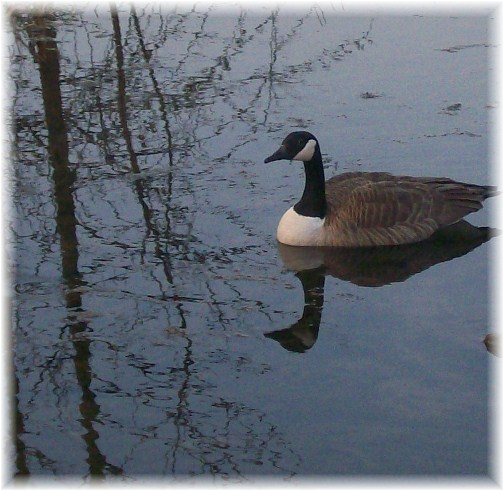 Male goose awaiting birth of gosslings