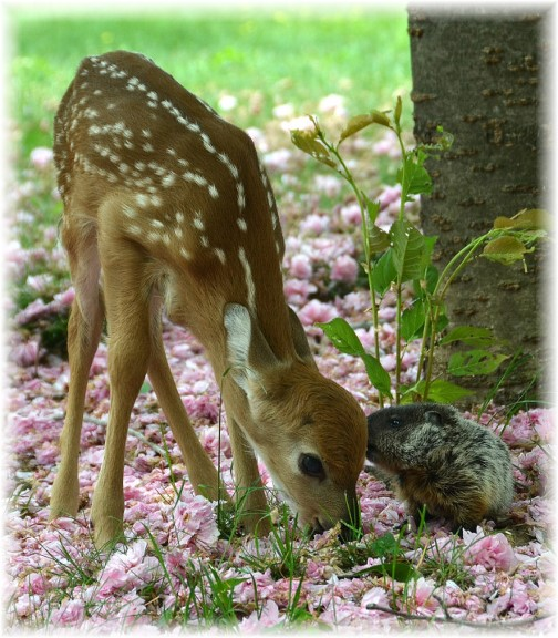 Fawn with groundhog (Photo by Doris High))