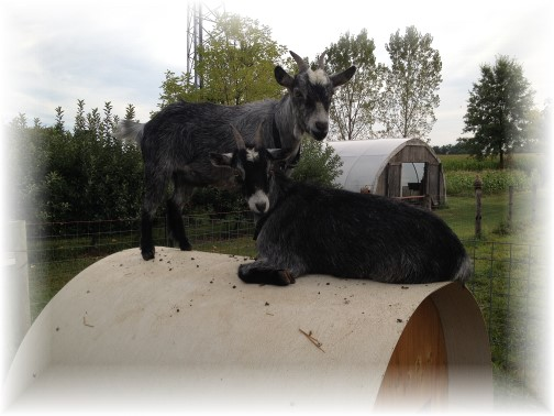 Nelson Heisey goats 9/3/14