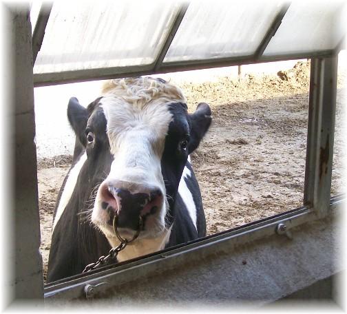 Holstein bull 3/18/11