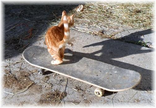 Kitten on skateboard