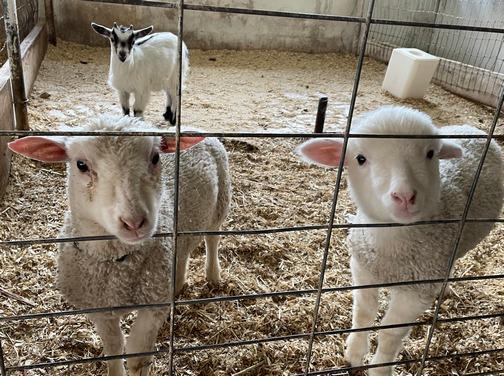 Lambs on Old Windmill Farm