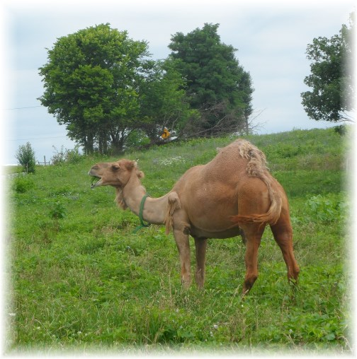 Camel on Amish farm in Lancaster County, PA 7/25/13
