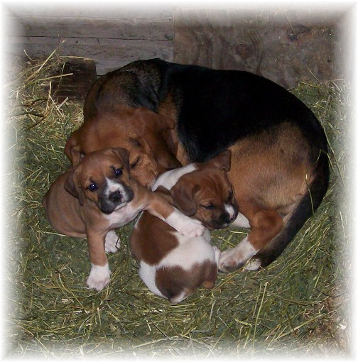 Beabull pups on Amish farm in Lancaster County, PA 10/25/11