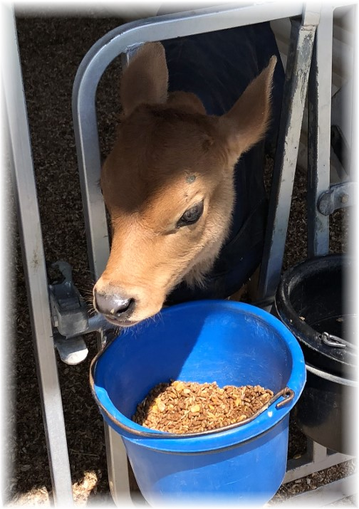 Lapp Valley Farm jersey calf, Lancaster County, PA 4/26/18