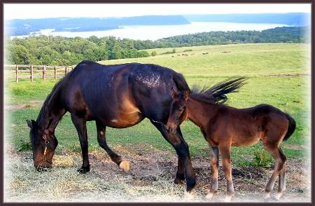 Lauxmont farm horses