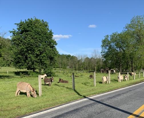 Lebanon County donkeys