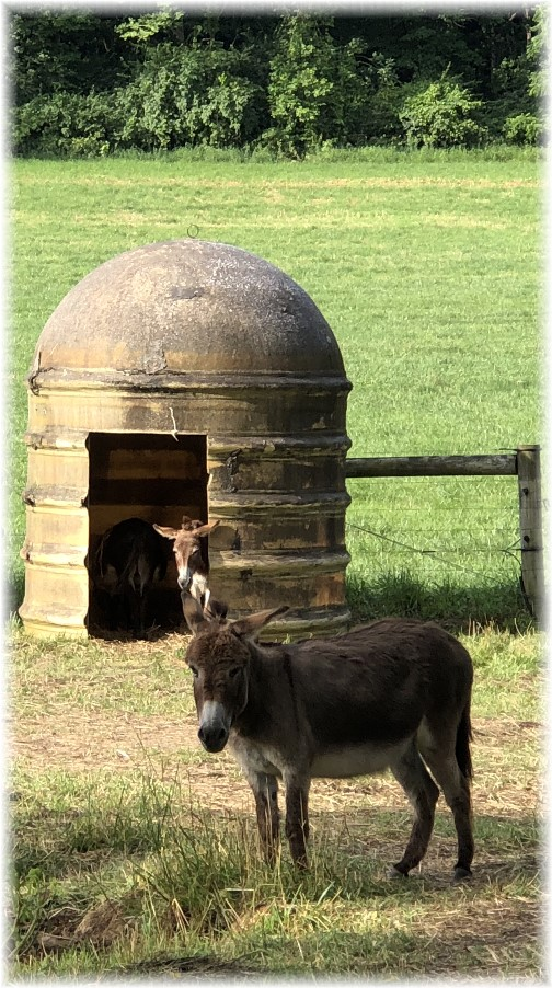 Donkeys in Lebanon County 6/26/18