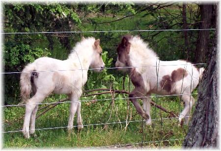 Dwarf Horses Craigslist Foto Bugil Bokep 2017