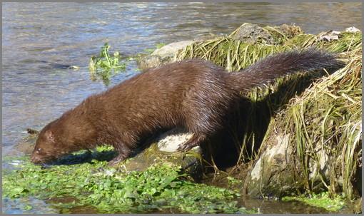 Donegal Creek mink (Joshua Binkley)