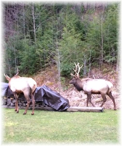 Elk in Neizmik backyard