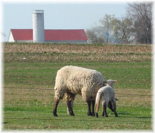 Newborn lamb 4/10/13