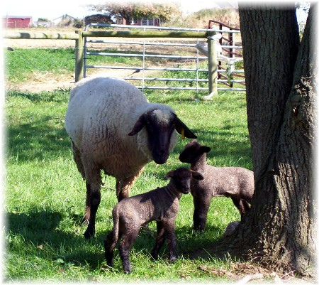 Newborn lambs on Amish farm