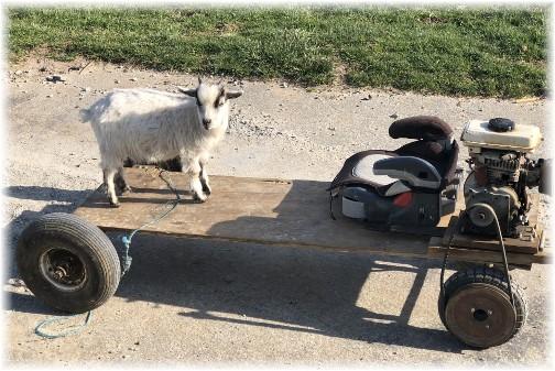 Old Windmill Farm billy goat kid 4/12/18