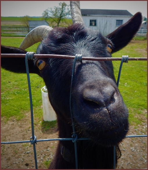 Goat at the Old Windmiil Farm