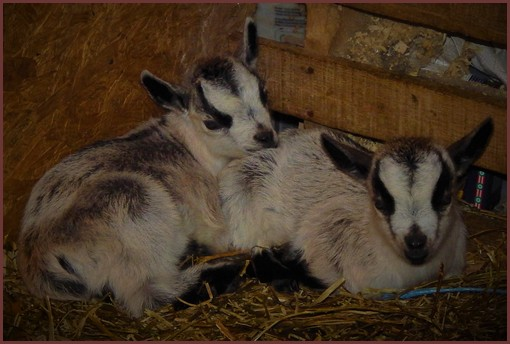 Baby goats at the Old Windmiil Farm