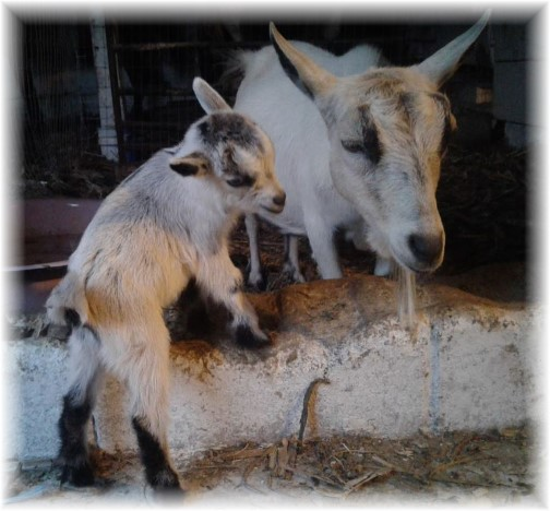 Old Windmill Farm kid goat and mother (Photo by Jesse Lapp)