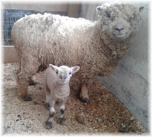 Baydoll sheep and lamb on the Old Windmill Farm 4/1/18