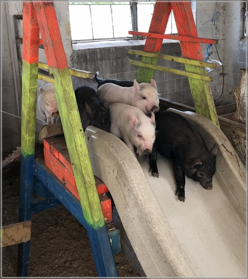 Baby pigs, Old Windmill Farm 9/16/18