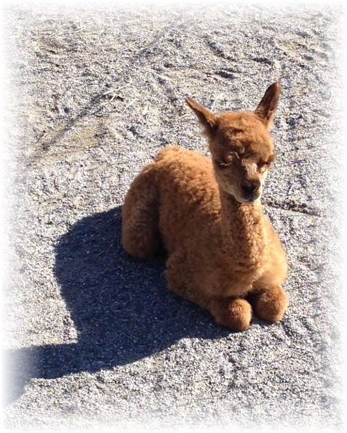 One day old Alpaca at Eastland Alpaca Farm, Mount Joy. PA 11/15/15 11/15/15