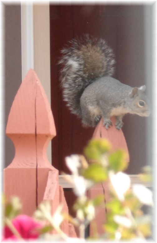 Opportunistic squirrel 4/28/13