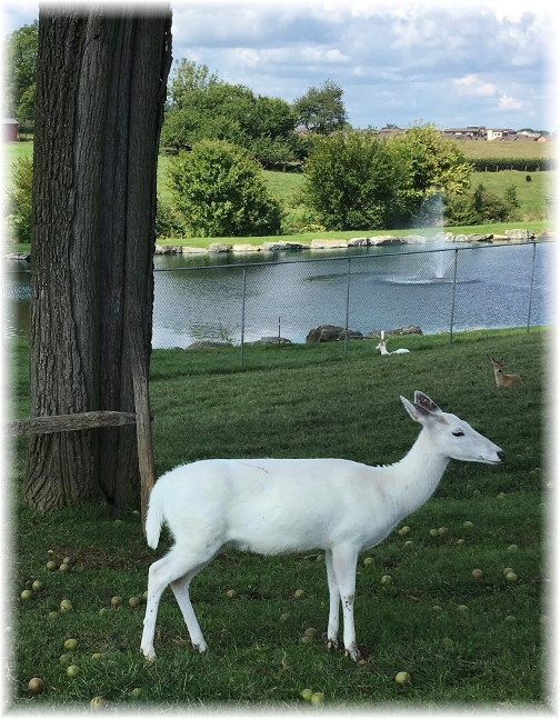 Albino deer 9/7/17