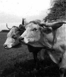 Oxen with yoke