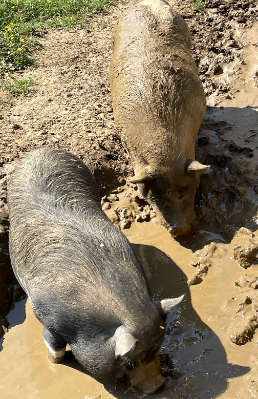 Sows in wallow