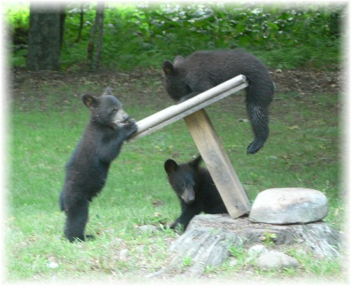 Playing Pennsylvania bear cubs (photo by Mel Kurtz)