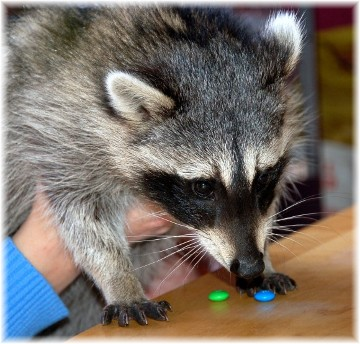 Racoon (photo by Doris High)