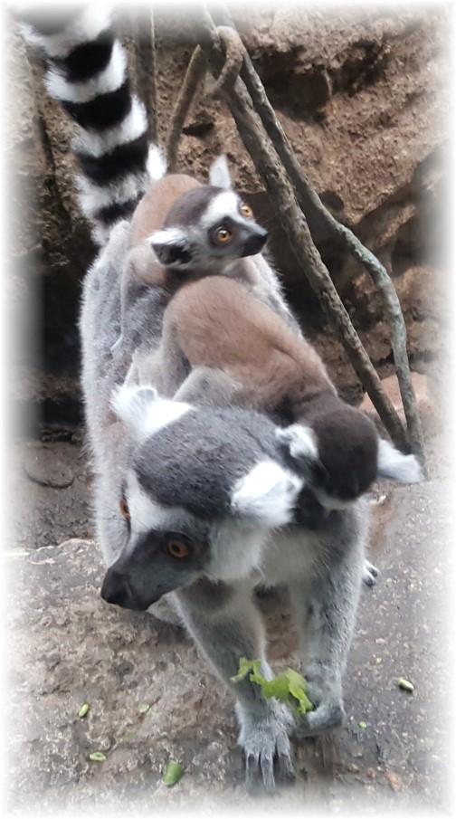 Ring-tailed Lemur 6/15/16 (Boston Zoo)