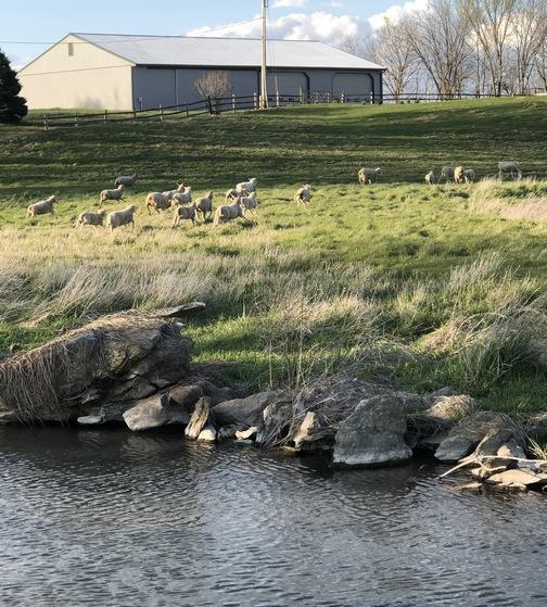 Rutt sheep