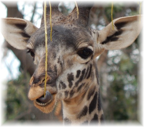 San Diego Zoo Giraffe 10/24/16