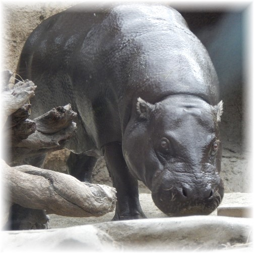 San Diego Zoo Hippo 10/24/16