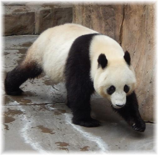 San Diego Zoo Panda Bear 10/24/16