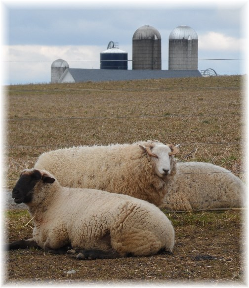 Sheep and barn background (3/1/13)