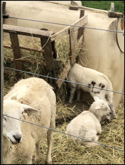 Sheep and lambs 4/18/19