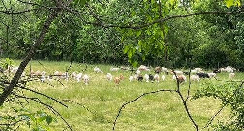 Sheep feeding in green pasture along Chickies Creek